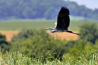 gray heron in flight
