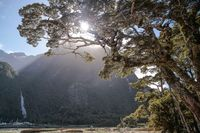 Old tree in the Milford Sound