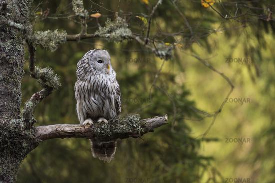 in a lichened tree... Ural Owl *Strix uralensis*