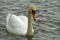 Adult Mute Swan