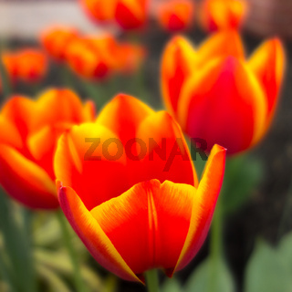 orange tulip flowers in spring garden