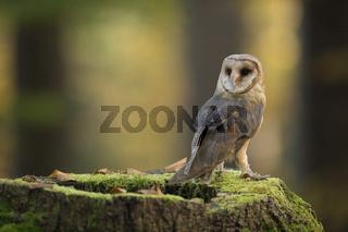 wunderschön... Schleiereule *Tyto alba*