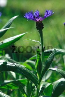 Flockenblume im Beet