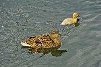Female Mallard (Anas platyrhynchos) with fledgling swimming in a pond
