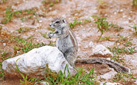 african ground squirrel, Etosha NP, Namibia