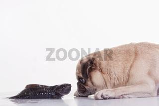 Mops und Axolotl