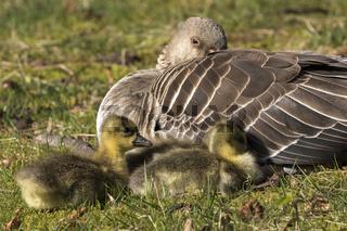 Graugans, (Anser anser), mit Küken, Hamburg, Deutschland, Europa / Gray goose, (Anser anser), with chicks, Hamburg, Germany, Europe