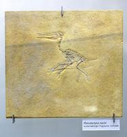 Versteinerung eines kurzschwänziger Flugsaurier (Pterodactylus k