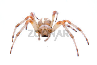 Brown spider on a white background