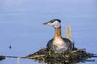 Red-necked Grebe on his nest