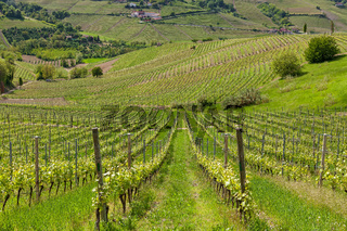 Rows of vineyards in Italy.