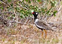 black korhaan, black bustard, Namibia