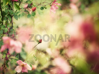 Beautiful bud of rose with soft focus as flower background - Painting of vintage photo