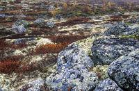 Tundralandschaft im Herbst / Indian summer in the tundra / Dovrefjell-Nationalpark  -  Soer Trondelag Norwegen