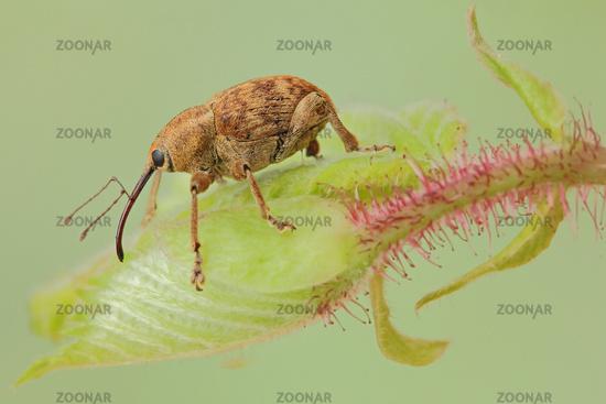 Hazelnut weevil (Curculio nucum)