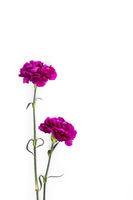 Purple gillyflowers on white background