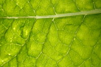 green leaf vein
