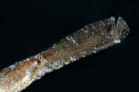 Syngnathus typle,  Broadnosed pipefish