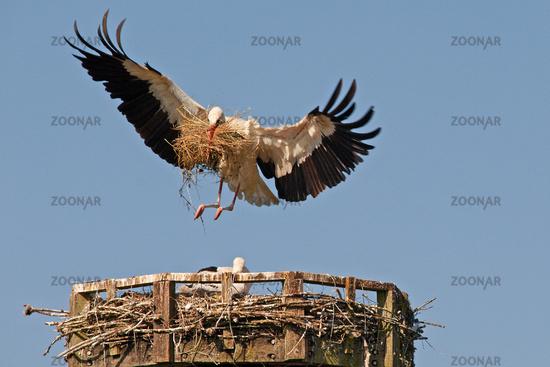 white stork, ciconia ciconia