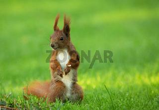 Squirrel (Sciurus vulgaris) stands upright