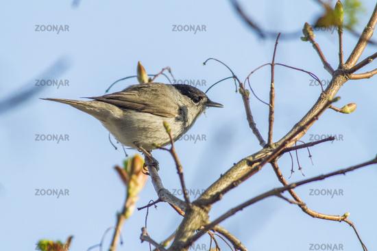 Blackcap, warbler (Sylvia atripacilla)