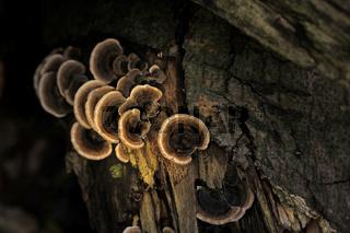Schmetterlingsporlinge auf Totholz