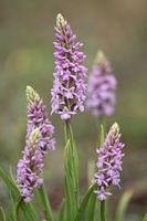 Fragant orchid