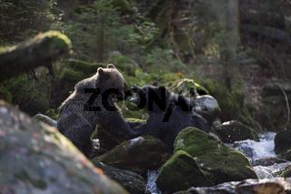 Kräftemessen... Europäische Braunbären *Ursus arctos*