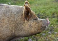 Portrait, Berkshire pig, Scotland