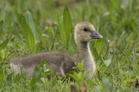 Young gray goose (Anser anser), chick, Schleswig-Holstein, Germany, Europe