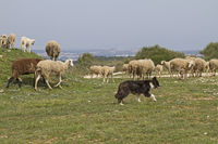 sheeps in Istria