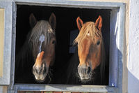 Horses (Equus ferus caballus) looking out of the box to the outside, Easter, feet, Germany, Europe