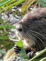 Nutria / Coypu, close up