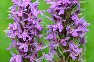 Geflecktes Knabenkraut, Dactylorhiza maculata,