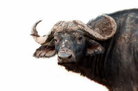 African Buffalo on a white background