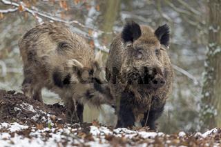 Wildschweine im Schnee, Keiler, captive, Schleswig Holstein, Deutschland, Europa / Sus scrofa
