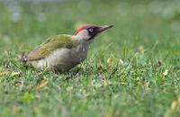 Female green woodpecker