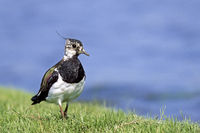 Northern Lapwing, in winter, it forms huge flocks in open land