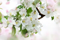 Apple blossoms against a soft focus background