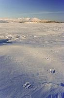 Moose tracks on frozen lake Tornetraesk
