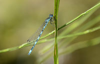 Southern Damselfly (Coenagrion mercuriale), male
