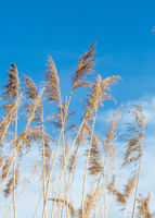 background image of yellow, natural  reed