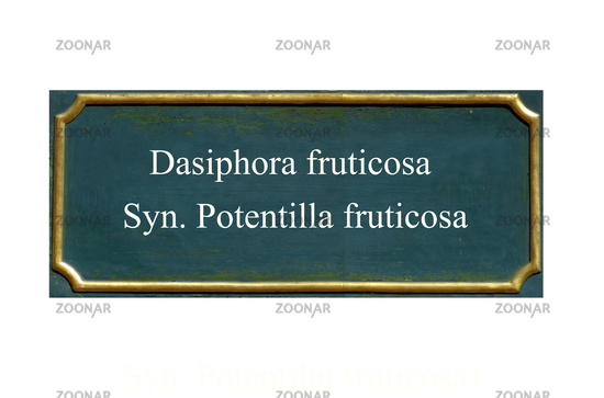 shield Dasiphora fruticosa Syn. Potentilla fruticosa