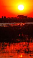 Elephants in the sunset at Chobe river, Botsuana