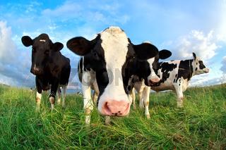 funny cow head over blue sky