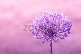 Allium Giganteum in violet colors