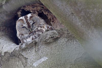 Tawny Owl an age of 18 years has been recorded for a wild animal