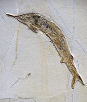 Versteinerung eines Schnabelfisch (Aspidorhynchus acutirostris),