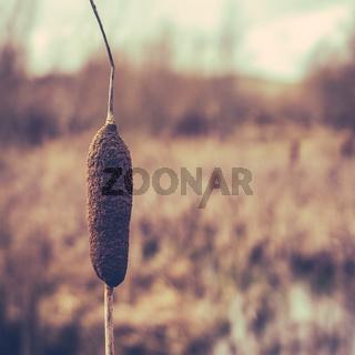 Single Winter Wetland Cattail