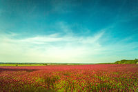 Red clover fields against blue sky